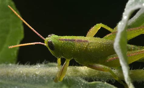 Green Mba Washingston State by Slideshow 889 19 Green Grasshopper In Washington On The