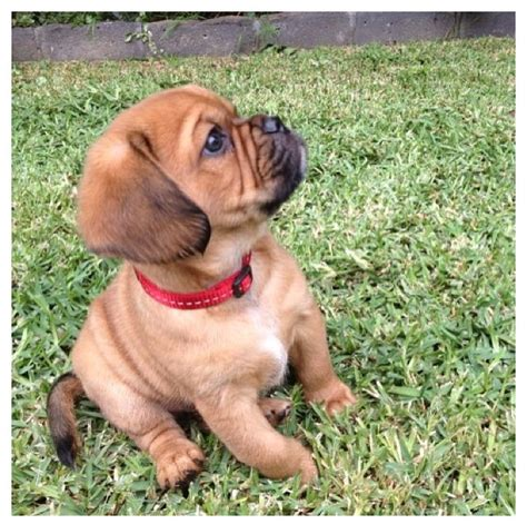 king charles spaniel cross pug pug beagle cavalier king charles spaniel hey buddyhobab charles