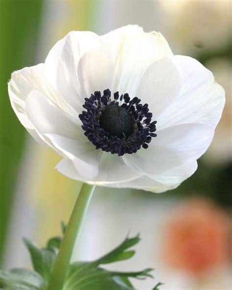 Short Flower Vases Best 25 Anemone Flower Ideas On Pinterest Anemones