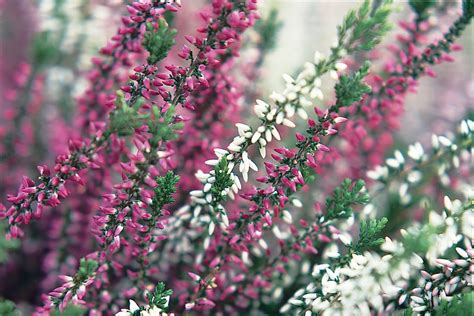 calluna vulgaris garden girls series gardenersworld com