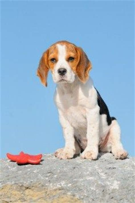 bench leg beagle 1000 images about beagle on pinterest beagle hound