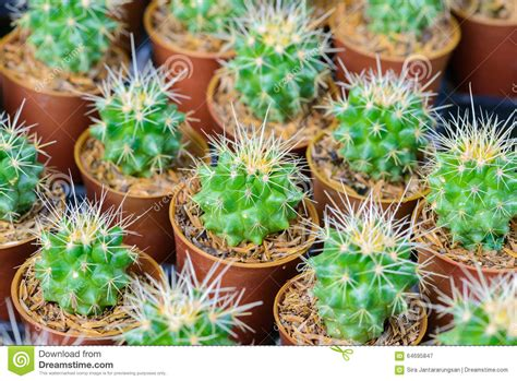 small potted cactus plants stock photo image 68600366 small cactus in a pot stock photo image 64695847