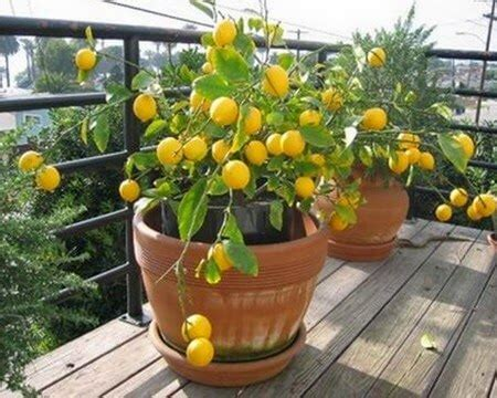 come si coltiva il limone in vaso come fare crescere un albero di limone in casa vivere