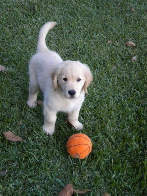 potty golden retriever puppy 25 best ideas about baby golden retrievers on retriever puppies golden
