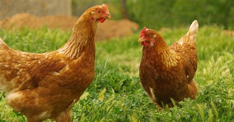 hühnerhaltung wohngebiet h 252 hnerhaltung darauf m 252 ssen sie achten haustiere