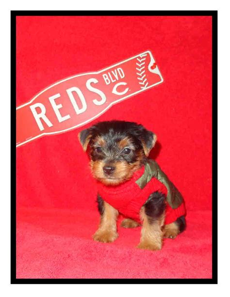 morkie puppies for sale indiana morkie puppies in cincinnati auto design tech