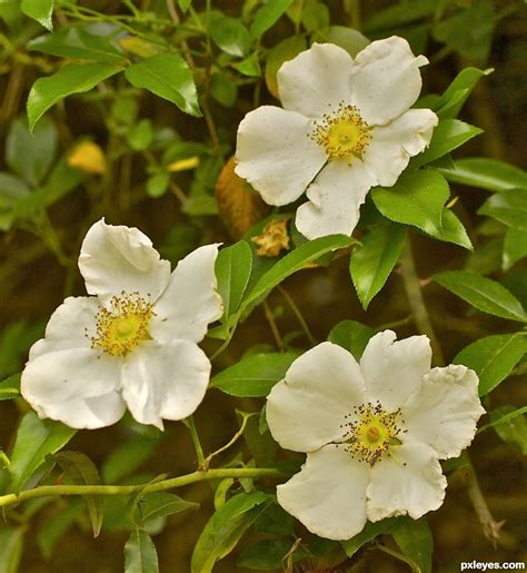 official state flowers cherokee rose state flower of georgia picture by janoogee