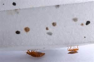 signs of bed bugs possible bed bug infestation signs