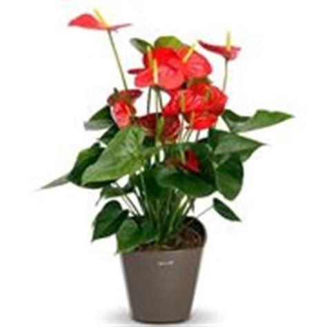 significato dei fiori anthurium anthurium significato piante appartamento anthurium