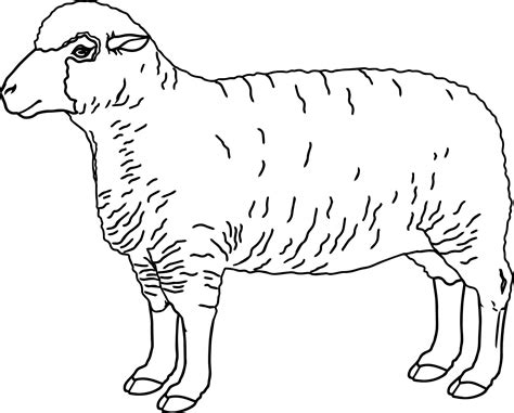 cool realistic sheep coloring page with coloring pages sheep