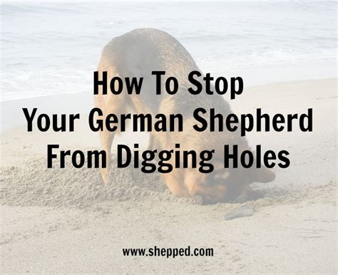 stop from digging home remedy how to stop your germanshepherd from digging holes