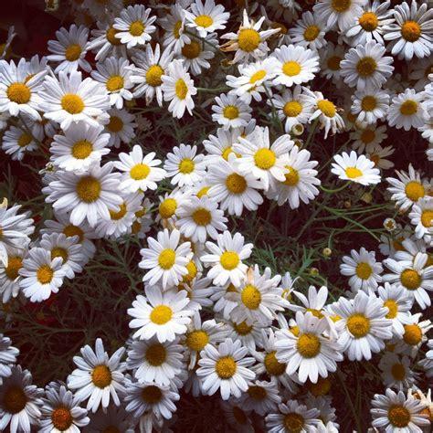 tumblr wallpapers daisies daisy flower tumblr themes www pixshark com images