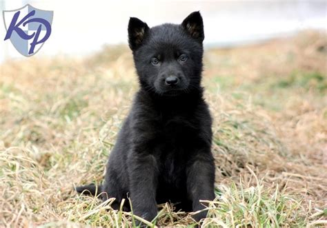 german shepherd puppies for sale in pa 93 best images about puppies for sale on chihuahuas german shepherd