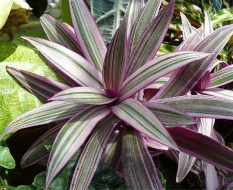 Tanaman Obat Violces daftar nama ilmiah tumbuhan tanaman bibitbunga