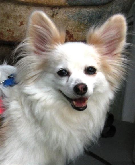 papillon rescue beau 10 yrs in ga s web page