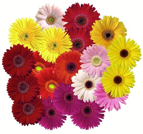 Meaning Of The Color Orange by Gerbera And Other Daisy Oid Flowers Arnold Zwicky S Blog
