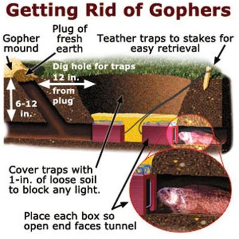 how to get rid of gophers in your backyard getting rid of gophers your toughest lawn questions answered this old house