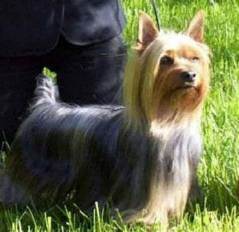 silky terrier puppies pics of silky terriers haircuts hairstylegalleries