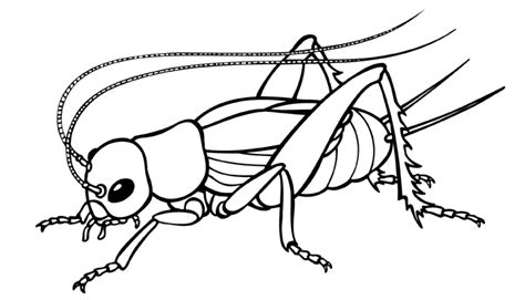 Cricket Insect Drawings Clip Art