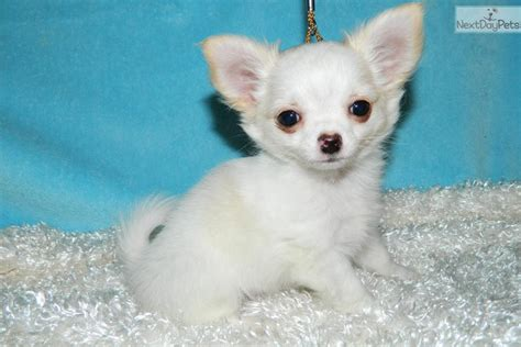 chihuahua puppies mn chihuahua puppy for sale near st cloud minnesota 7f78af03 0971