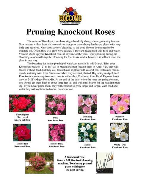 knockout rose pruning guide gardening pinterest