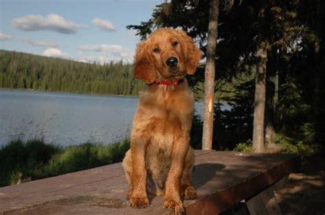 golden retriever setter cross photos akc golden retriever and setter puppies