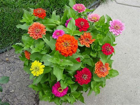 Benihbibitbijiseed Zinnia Early Mixed 21 best images about colorful annuals on deadheading cocktails and image search