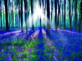 bluebell forest bluebell wood hd desktop wallpaper widescreen high definition fullscreen