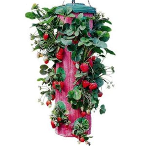 Topsy Turvy Strawberry Planter by Strawberry Bag Hanging Strawberry Plants Topsy Turvy