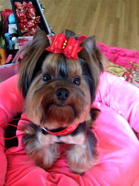my new yorkie puppy terrier mini pin breeds picture