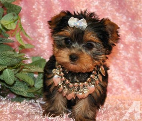 teacup yorkie chicago adorable teacup yorkie puppies and 10 weeks 901 443 8659 listlux