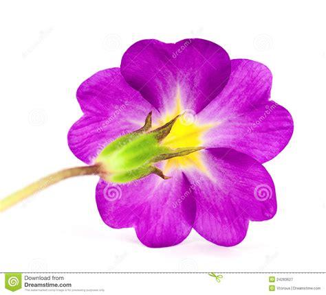 primula fiore fiore primula immagine stock immagine di fiore verde