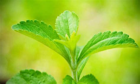 stevia coltivazione in vaso stevia coltivazione in vaso dolcificante naturale