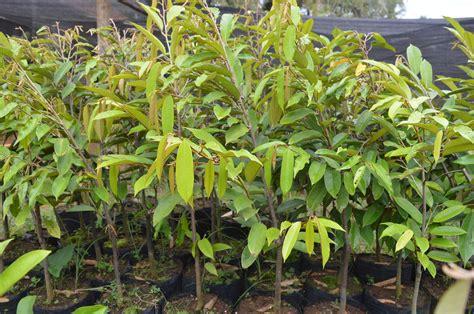 Jual Bibit Kefir Berkualitas jual bibit durian musangking berkualitas urbanina