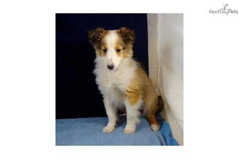 Maryam No Pet meet mariam a shetland sheepdog sheltie puppy for