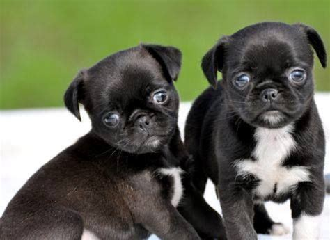 pug cross chihuahua pug chihuahua chug pug mixed breeds chugs home and the