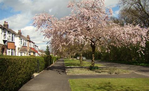 panoramio photo of early spring flowering cherry blossom tree on norton lane norton sheffield s8