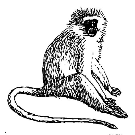 Vervet Monkey Coloring Page | vervet monkey coloring page animals town free vervet