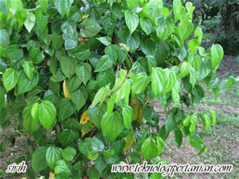daun sirih  mencuci mata segalanya tentang tumbuhan