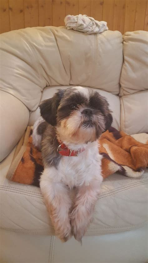 grey shih tzu puppies for sale gray and white shih tzu for sale westbury wiltshire pets4homes