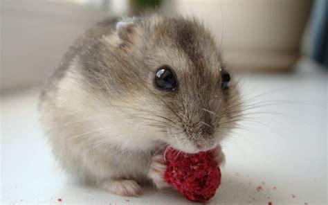 hamstet mobile hamster beloved pet wallpaper 10643 wallpaper walldiskpaper