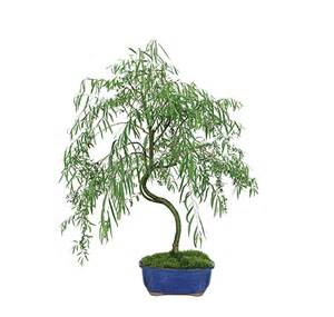 Wire Home Decor japanese weeping willow care