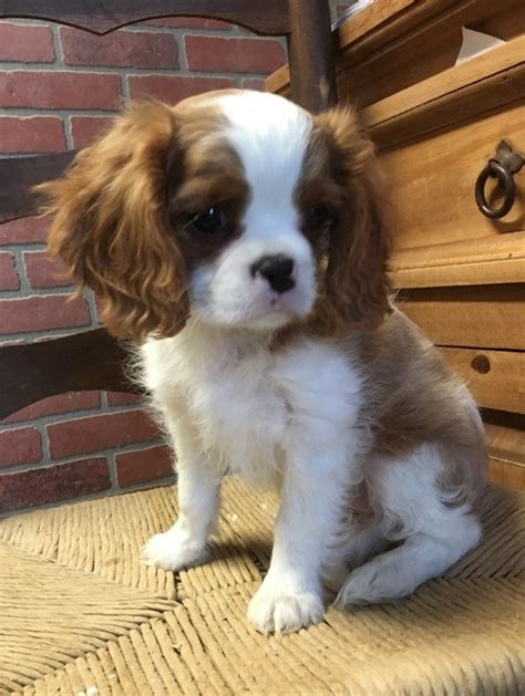 king charles cavalier puppies for sale in pa cavalier king charles spaniel puppies for sale rowland pa 223434