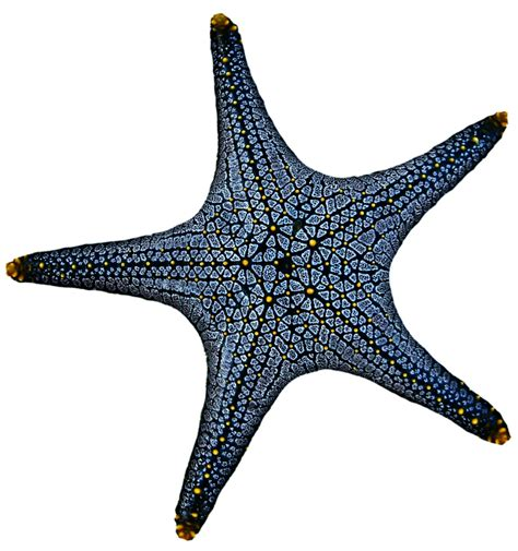 blue starfish png