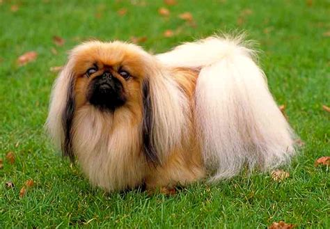 imagenes de animales pequeños 4 cautivadoras fotos de perros chinos peque 241 os hermosos