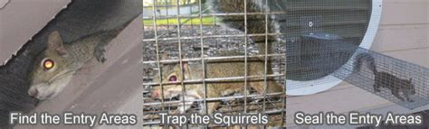 how to get rid of squirrels in ceiling how to get rid of
