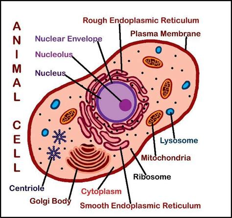 cell diagram labeled 2 new downloads plant animal cell posters labeled