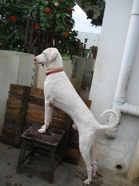puppies puppies puppies rajapalayam puppies for sale chandrasekaran 1 4951 dogs for sale price of