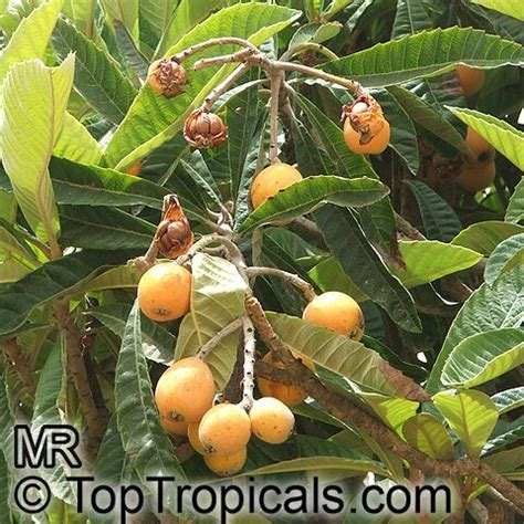 japanese plum tree fruit eriobotrya japonica loquat japanese plum nispero