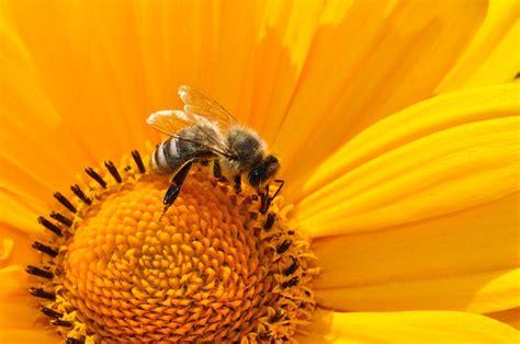 free photo bee pollen nectar yellow free image on